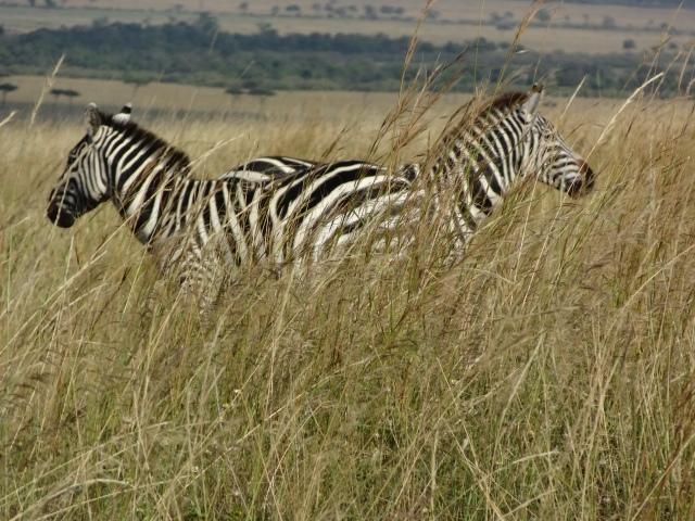 It's a bird, it's a plane...it's a double headed zebra