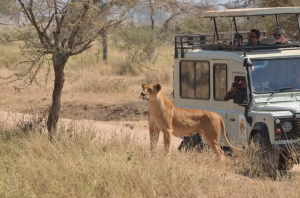 Lioness spotting